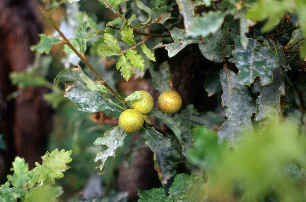 galle quercia