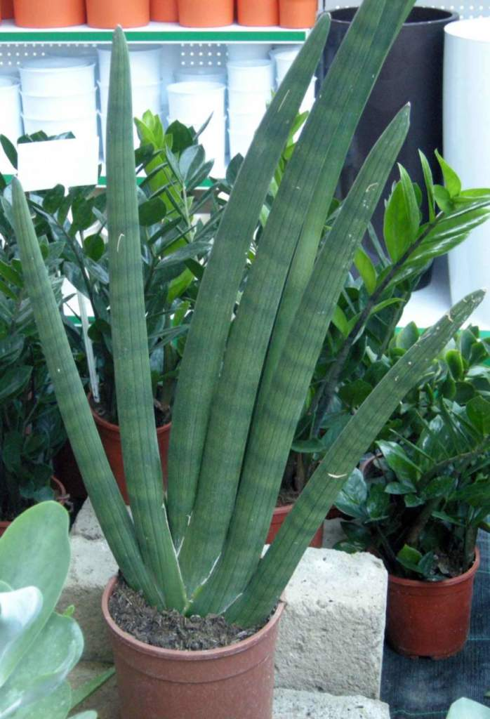 piante grasse sansevieria