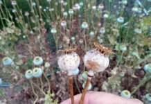 semi capsule papavero