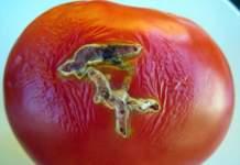 tuta absoluta pomodoro