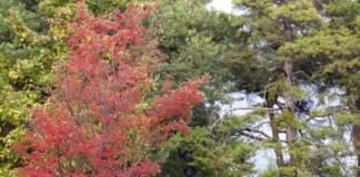 lavori giardino autunno acero foglie rosse
