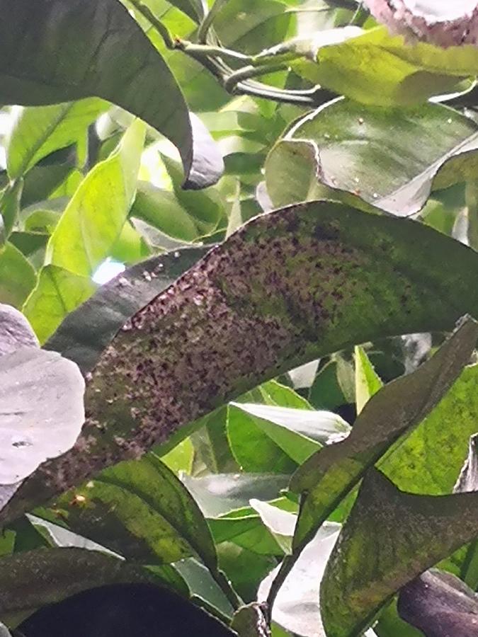 cocciniglia bianca agrumeto