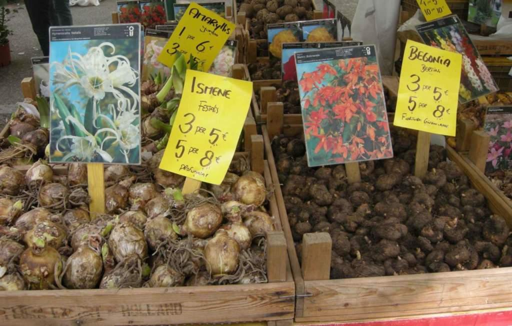 bulbi tuberi rizomi ismene begonia