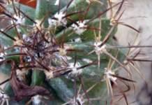 piante grasse inverno cocciniglie ferocactus