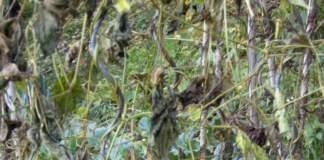 lavori orto ottobre fagiolini a fine ciclo
