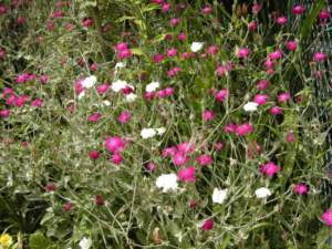 ornamentali infestanti lychnis