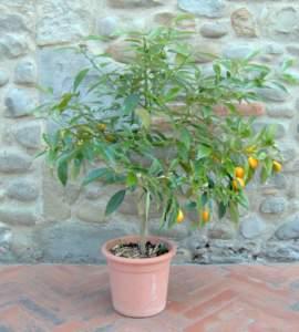 kumquat vaso