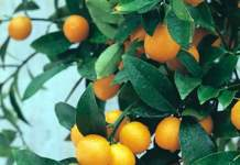 kumquat frutti