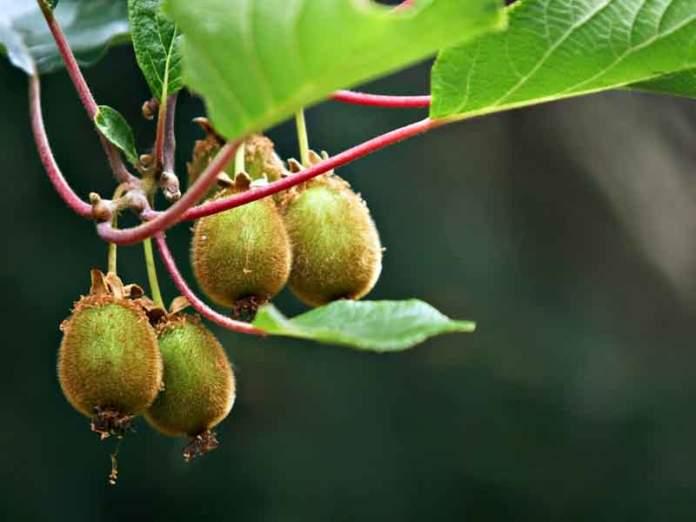 kiwi autunno frutti