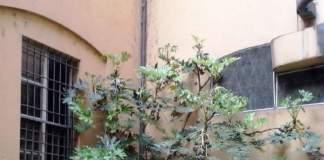 aralia giardino