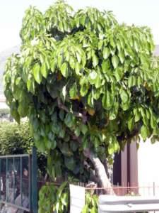 banano di montagna albero