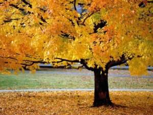 foglie autunno acero