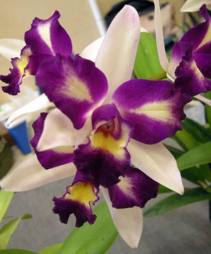 orchidee ibridi brassolaeliocattleya waw yuan beauty pearl