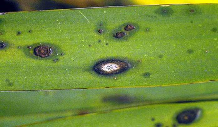 yucca malattia fungina