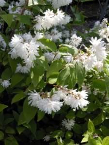 siepe deutzia fiori