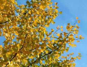 foglie autunno ginkgo