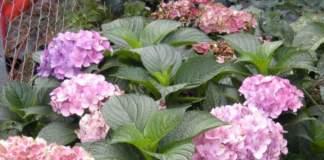 ortensie fiori
