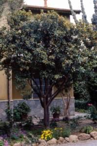 kumquat giardino