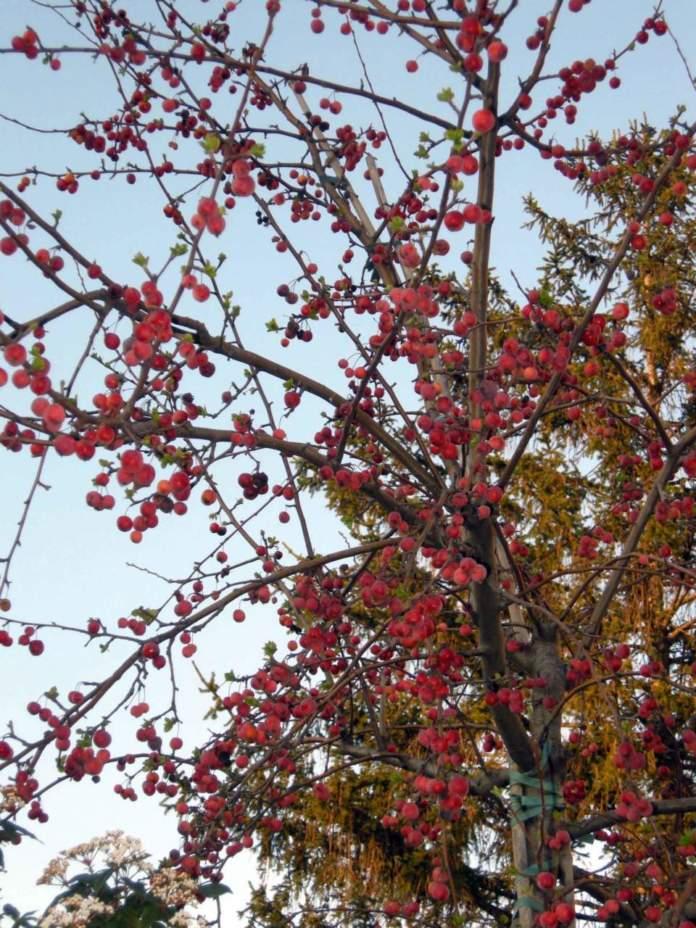 arbusti da bacca malus evereste frutti