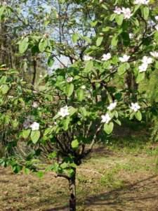 nespolo selvatico fiori