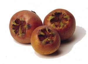 frutti allappano nespolo selvatico frutti