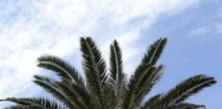 palme phoenix canariensis