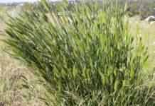 Agropyron cristatum scarpate