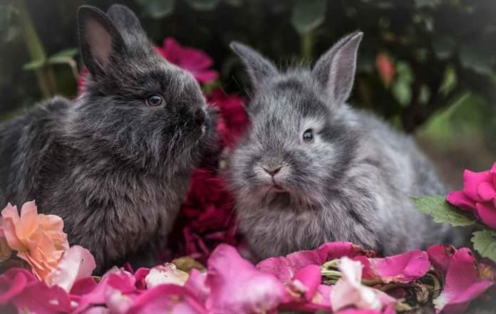 coniglio coppia