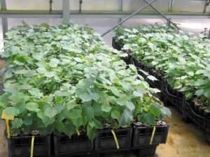 piante da tartufo nocciolo