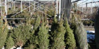 garden center aperti alberi natale