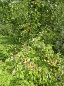 frutteto albicocco frutti