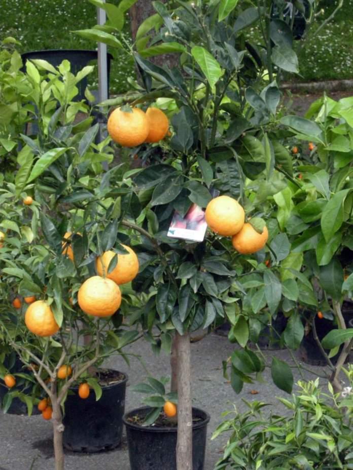 agrumi vaso arancio