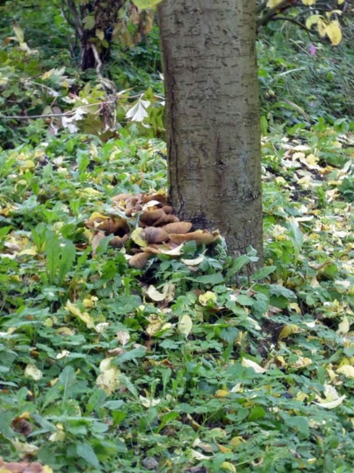 albero stabile armillaria