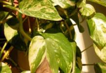 errori piante appartamento potos