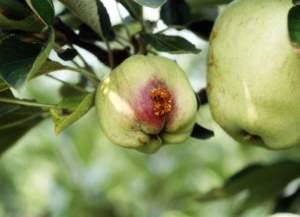 melo difesa carpocapsa mela
