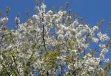 frutteto ciliegio fiori