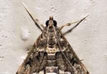 farfalla calancoe