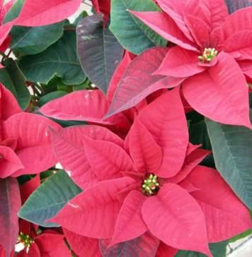 calendario lunare dicembre stella di Natale