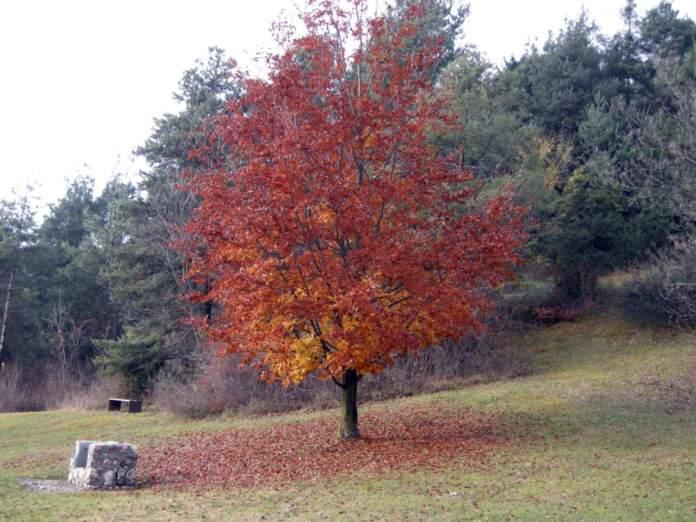 faggio autunno