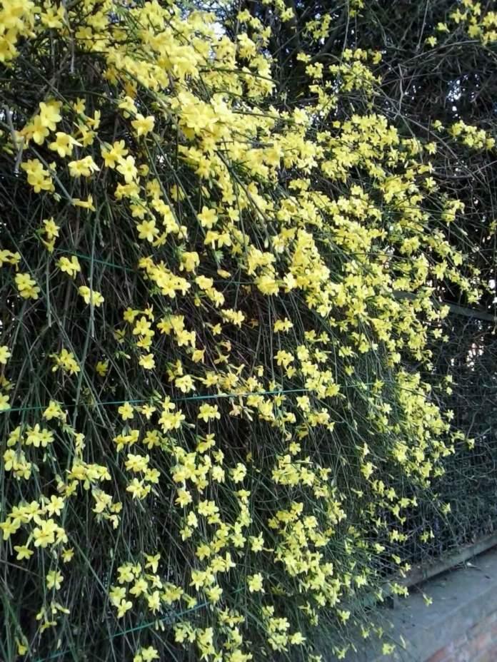 gelsomino giallo jasminum nudum