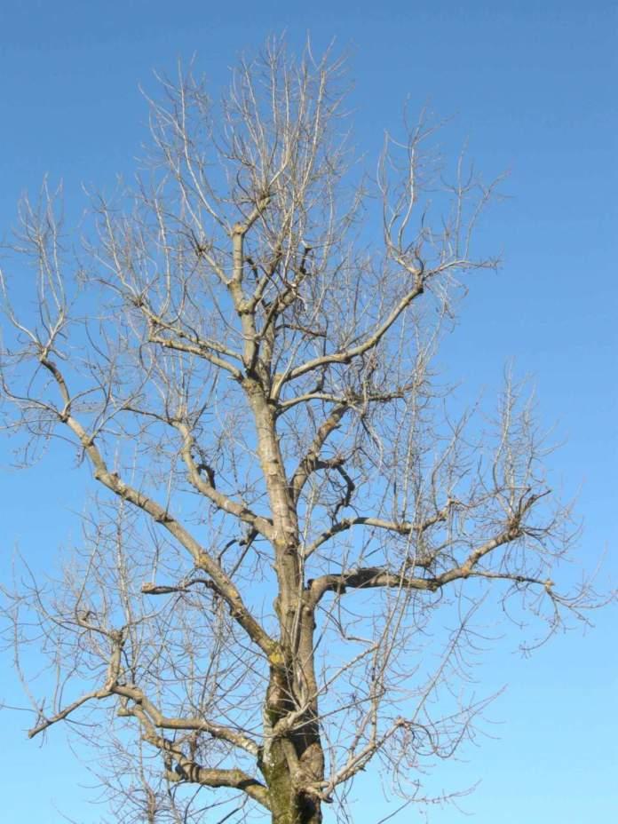 trattare sul bruno juglans inverno