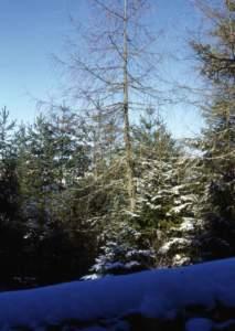 larice spoglio inverno