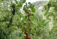 spostare albero melo gava