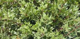 siepe mare pistacia lentiscus