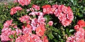 rose paesaggistiche coral drift