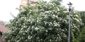 siepi naturali sambucus nigra fiori