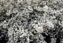 potatura terrazzo spiraea vanhouttei fiori