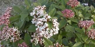 siepe viburnum tinus fiori