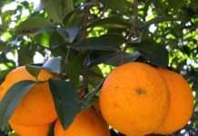 arancio arance
