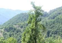 melo rosa romana albero secolare
